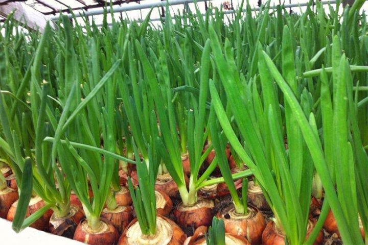 Выращивание лука на перо в августе 6